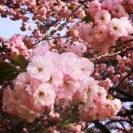 20160409_桜を見る会003